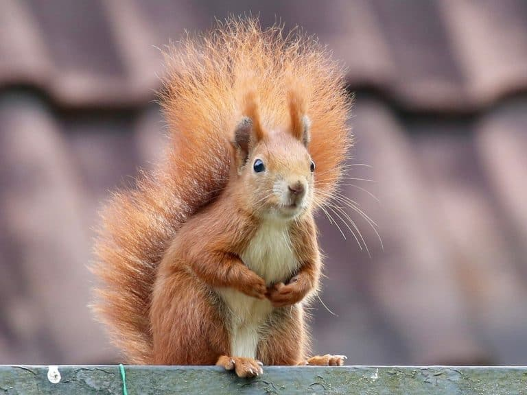 A bushy tailed red squirrel